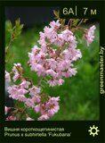 Вишня-короткощетинистая-Prunus-x-subhirtella-'Fukubana'