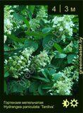 15-Гортензия-метельчатая-Hydrangea-paniculata-'Tardiva'