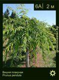 Вишня-плакучая-Prunus-pendula