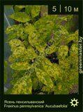 Ясень-пенсильванский-Fraxinus-pennsylvanica-'Aucubaefolia'