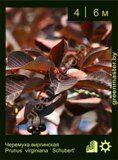 Черемуха-виргинская-Prunus-virginiana-'-Schubert'