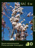 Вишня-мелкопильчатая-Prunus-serrulata-'Amanogawa'-1