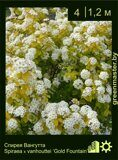 Спирея-Вангутта-Spiraea-x-vanhouttei-'Gold-Fountain'