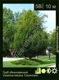 Граб-обыкновенный-Carpinus-betulus-'Columnaris'