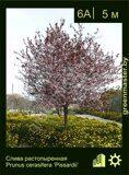 Слива-растопыренная-Prunus-cerasifera-'Pissardii'