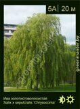 Ива-золотистоволосистая-Salix-х-sepulcralis-'Chrysocoma'