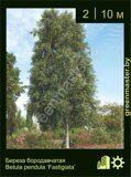 Береза-бородавчатая-Betula-pendula-'Fastigiata'