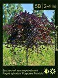 Бук-лесной-Fagus-sylvatica-'Purpurea-Pendula'