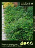 Жимолость-шапочная-Lonicera-pileata-'Moss-Green'