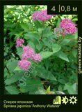 Спирея-японская,-Spiraea-japonica-'Anthony-Waterer'