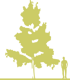 8-bereza-borodavchataya-betula-pendula-schneverdinger-goldbirke-siluet.png