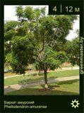 Бархат-амурский-Phellodendron-amurense