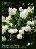 Гортензия-метельчатая-Hydrangea-paniculata-'Grandiflora'