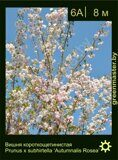 Вишня-короткощетинистая-Prunus-x-subhirtella-'Autumnalis-Rosea'