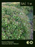 Калина-Фаррера-Viburnum-farreri-'Nanum'