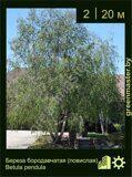Береза-бородавчатая-(повислая)-Betula-pendula