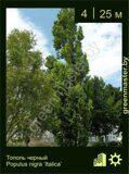 Тополь-черный-Populus-nigra-'Italica'