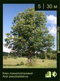 Клен-ложноплатановый-Acer-pseudoplatanus