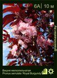 Вишня-мелкопильчатая-Prunus-serrulata-'Royal-Burgundy'