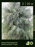 Береза-бородавчатая-Betula-pendula-'Crispa'-1