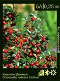 Кизильник-Даммера-Cotoneaster-radicans-'Eichholz'