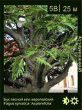 Бук-лесной-Fagus-sylvatica-'Aspleniifolia'