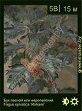 Бук-лесной-Fagus-sylvatica-'Rohanii'