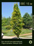 Бук-лесной-Fagus-sylvatica-'Dawyck-Gold'