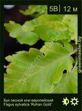 Бук-лесной-Fagus-sylvatica-'Rohan-Gold'