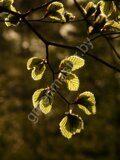 Бук лесной или европейский fagus-sylvatcia