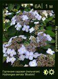Гортензия-садовая-(пильчатая)-Hydrangea-serrata-'Bluebird'