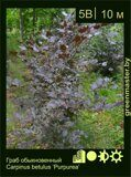 Граб-обыкновенный-Carpinus-betulus-'Purpurea'
