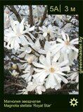 Магнолия-звездчатая-Magnolia-stellata-'Royal-Star'