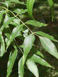 Ясень Fraxinus