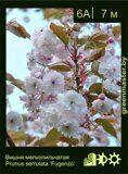Вишня-мелкопильчатая-Prunus-serrulata-'Fugenzo'