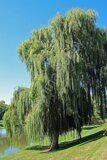 Ива-Salix