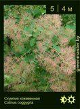 Скумпия-кожевенная-Cotinus-coggygria