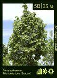 Липа-войлочная-Tilia-tomentosa-'Brabant'