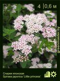 Спирея-японская-Spiraea-japonica-'Little-princess'