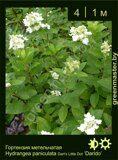 Гортензия-метельчатая-Hydrangea-paniculata-Dart's-Little-Dot-'Darido'