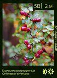 Кизильник-растопыренный-Cotoneaster-divaricatus