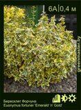 Бересклет-Форчуна-Euonymus-fortunei-'Emerald-'n'-Gold'