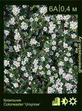 Кизильник--Cotoneaster-'Ursynow'