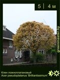 Клен-ложноплатановый-Acer-pseudoplatanus-'Brilliantissimum'