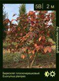 Бересклет-плоскочерешковый-Euonymus-planipes