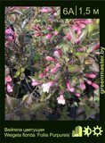 Вейгела-цветущая-Weigela-florida-'Foliis-Purpureis'
