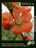 Айва-японская-превосходная-Chaenomeles-x-superba-'Orange-Trail'