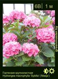 Гортензия-крупнолистная--Hydrangea-macrophylla-'Sybilla'-('Masja')