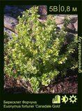Бересклет-Форчуна-Euonymus-fortunei-'Canadale-Gold'
