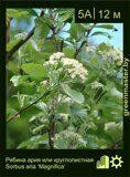 Рябина-ария-или-круглолистная-Sorbus-aria-'Magnifica'